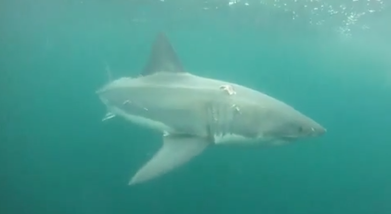 Great White Shark Off of Ocean City, MD  Underwater Video