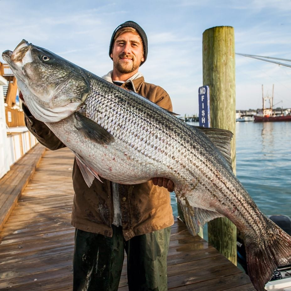 Stripers rockfish call 39 em what you want they 39 re for Md fishing license