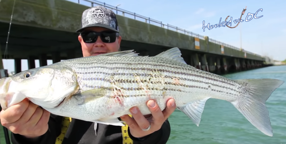 Maryland 2020 Atlantic Coast Striped Bass Regulations for Recreational Anglers and Charter Boats